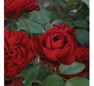 Саженцы бордюрных роз Кордула