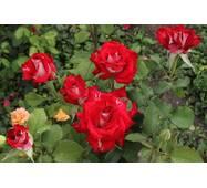 Саженцы роз Лавли Ред