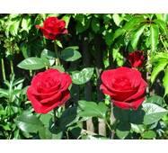 Саджанці троянд Гранд Гала