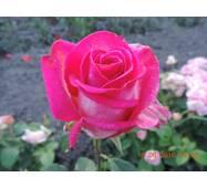 Саджанці троянд верді
