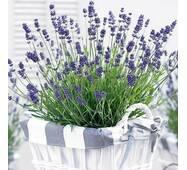 Лаванда Essence Purple (саджанці)