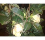Саджанці троянд Ломиносів