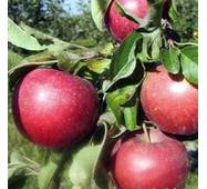 Саджанці яблуні Граф Эззо