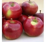 Саджанці яблуні Энтерпрайз