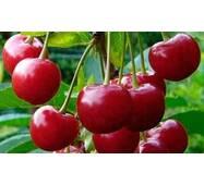 Саженцы вишни Гриот Мелитопольский
