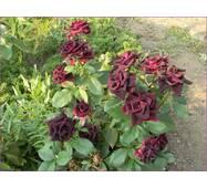 Саженцы роз Блэк Бьюти