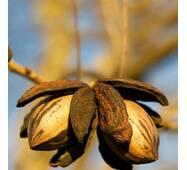 Саженцы ореха Пекан Бартон (однолетние)