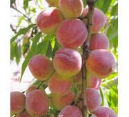 Саджанці персика Київський