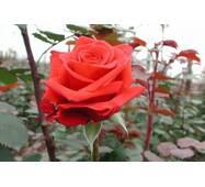 Саджанці троянд Ред Берлін