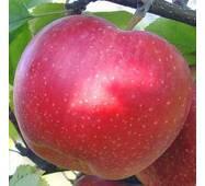 Саджанці яблуні Джонаголд
