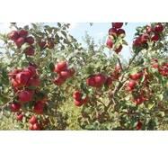 Саджанці яблуні Дискавери