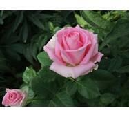 Саджанці чайно-гібридних троянд Аква