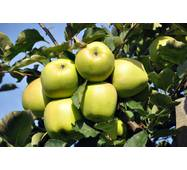 Саджанці яблуні Мутсу