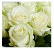 Саджанці чайно-гібридних троянд Аваланж