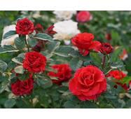 Саджанці троянд Эль Торо