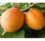 Саджанці абрикоси Поліський великоплідний