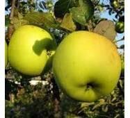 Саджанці яблуні Оріон