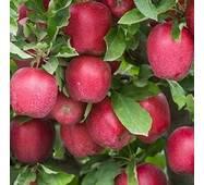 Саджанці яблуні Джона Ред Принц