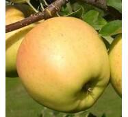 Саджанці яблуні Сіріус