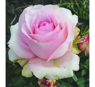 Саджанці чайно-гібридних троянд Юниверс