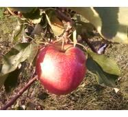 Саджанці яблуні Бребун