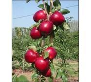Саджанці яблуні Моди