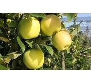 Саджанці яблуні Голдан Делишес
