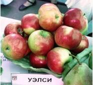 Саджанці яблуні Уелси