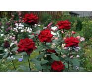 Саджанці троянд Бургунд