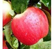 Саджанці яблуні Канзи