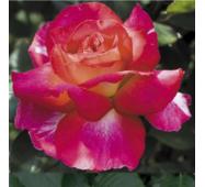 Саджанці троянд Великий театр