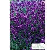 Лаванда узколистная 'angustifolia' контейнер 1л