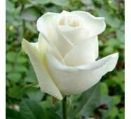 Саджанці троянд Боїнг