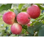 Саджанці яблуні сорт Мелба