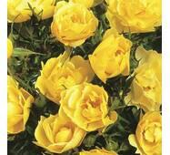 Роза парковая Консуэла
