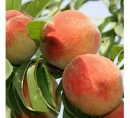 Саджанці персика сорт Золота Москва, 2 літні