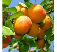 Саджанці абрикоси сорт Надія