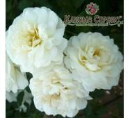 Саженцы роз Розу Sea Foam (Си Фоам)