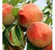 Саджанці персика сорт Фаворит Мореттини