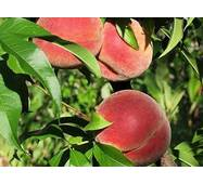 Саджанці персика сорт Амбер Голд