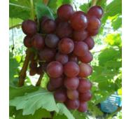 """Саджанці винограду сорт """"Блискучий"""""""