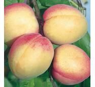Саджанці абрикоси сорт Фелпс