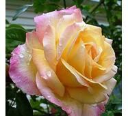 Саджанці троянд сорт  Роза Пис (Peace)