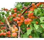 Саджанці абрикоси сорт Красень Києва