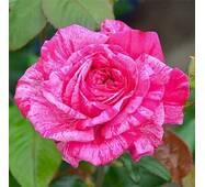 Троянда чайно-гібридна Сrazy Fashion (Крейзи Фешн)