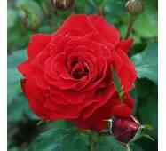 Саджанці троянди сорту Nina Weibull (Ніна Вейбул)