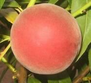 Саджанці персика сорт Адріатика