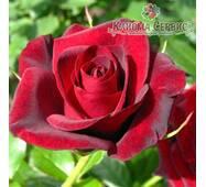 Саджанці троянд сорт Гран При