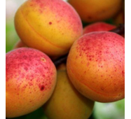 Саджанці абрикоси Голд Рич
