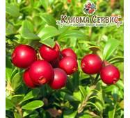 Саженцы брусники Red Pearl (Ред Перл) в горшке 0.5 л (5-10 см)